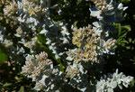 018-Polycarpaea nivea  Schneeweiße Vielfrucht