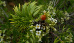 Herbst-Seidelbast / Daphne gnidium