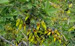 Stinkstrauch / Anagyris foetida,  im ganzen Mittelmeerraum vorkommend