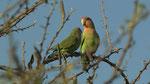 Rosy-faced Lovebird / Rosenköpfchen