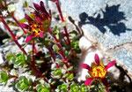 188 : Zweiblütiger Steinbrech / Saxifraga biflora / Col de Chassoure 9.8.2020
