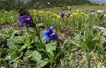 Drachenmaul / Horminum pyrenaicum  / Alp da Munt 2200 m  beim Ofenpass 27.6.2019