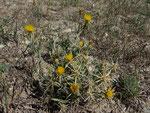 Sonnenwend-Flockenblume / Centaurea solstitialis