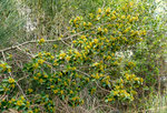 Immergrüner Kreuzdorn / Rhamnus alaternus, im Hintergrund Pfriemenginster / Spartium junceum