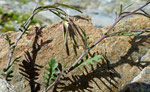 Fiederrauke / Murbeckiella pinnatifida / Lac de Fenêtre 27.8.2020