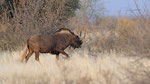 Black Wildebeest / Weissschwanzgnu
