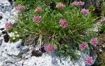 Berg-Wundklee / Anthyllis montana / La Dôle 28.6.2020