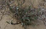 Strand-Kreuzblatt / Crucianella maritima, typische Dünenpflanze