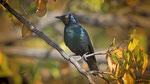 Rotschulterglanzstar / Cape glossy Starling