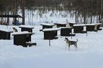 Unterwegs eine Farm mit Huskys