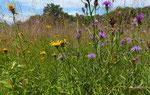 124 : Schmalblättrige Wiesen-Flockenblume / Centaurea jacea ssp. angustifolia und Weiden-Alant / Inula salicina / Jussy GE 3.7.2020