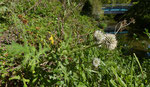 Hohe Kugeldistel / Echinops exaltatus / entlang der L`Aire GE 7.10.2019