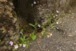 Felsen-Sand-Schaumkresse / Cardaminopsis arenosa ssp.borbasii ,  an der schattigen Seite der Festungskirche / Aarburg 30.4.2019