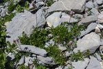Monte Baldo-Anemone / Anemone baldensis