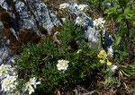 Felsen-Bauernsenf / Iberis saxatilis