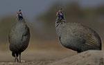 Heimperlhuhn / Helmeted Guineafowl