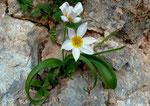 Tulipa saxatilis \ Felsen-Tulpe , Gelb ist scharf abgegrenzt, Kreta,Ägäis und Südtürkei