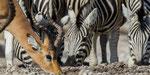 Impala und Zebra