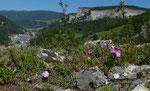 Grenobler Nelke / Dianthus gratianopolitanus, am Schlundeingang bärtig / Ravellenflue 7.5.2020
