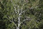 054-Populus euphratica