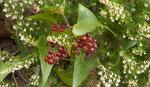 Stechwinde / Smilax aspera  mit Baumheide