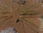 113- Stipagrostis pungens Stechendes Dringras, Halfagras