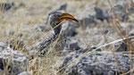 Südlicher Rotschnabeltoko / Southern red - billed Hornbill