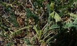 Niederliegender Tragant / Astragalus depressus