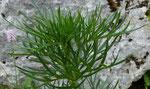99 : Giftheil-Eisenhut oder Blassgelber Eisenhut / Aconitum anthora / La Dôle 27.6.2020