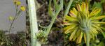 Löwenzahnblättriger Blasen-Pippau / Crepis vesicaria ssp. taraxacifolia /  Gwatt 3.5.2020