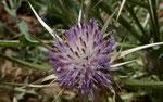 084- Centaurea calcitrapa  Sternflockenblume