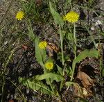 Borstiger Pippau / Crepis setosa / Russin 10.7.2020