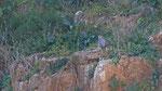 Wüstenfalke - Barbary Falcon