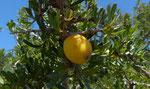 038-Argania spinosa  Arganbaum