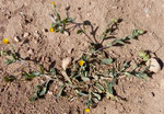 108-Calendula tripterocarpa
