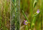 Ysopblätteriger Weiderich / Lythrum hyssopifolia