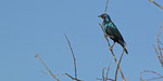 Rotschulter Glanzstar / Cape Glossy Starling