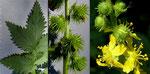 Grosser Odermennig / Agrimonia procera / Bois de Versoix GE 5.8.2020
