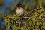 African red - eyed Bulbul