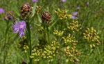123 : Schmalblättrige Wiesen-Flockenblume / Centaurea jacea ssp. angustifolia und Wiesensilge / Silaum silaus / Jussy GE 3.7.2020