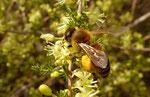 Stechender Spargel / Asparagus acutifolium, ergiebige Pollenweide