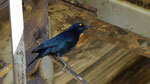 Cape glossy Starling / Rotschulter-Glanzstar