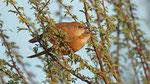 Akaziendrossling - Fulvous Babbler