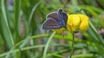 Grosser Sonnenröschen-Bläuling (Aricia artaxerxes)