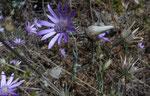 Einjährige Strohblume / Xeranthemum annuum