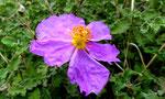 Kretische oder Graubehaarte Zistrose / Cistus creticus, Blüten rosarot, 4-6 cm breit, Blätter grün mit eingesenkten Fiedernerven, im ganzen Mittelmeerraum vorkommend