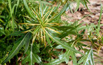 088-Xanthium spinosum  Dornige Spitzklette