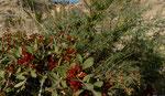 Terpentin-Pistazie / Pistacia terebinthus    und Behaarter Dornginster / Calicotome villosa