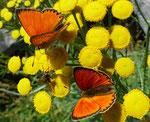 161 : Rainfarn / Tanacetum vulgare, beliebt bei den Dukatenfaltern / Gondo 17.7.2020