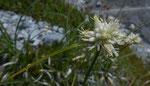Monte Baldo-Segge / Carex baldensis